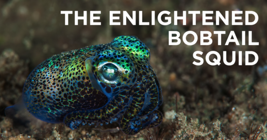 An Important Lesson from The Hawaiian Bobtail Squid