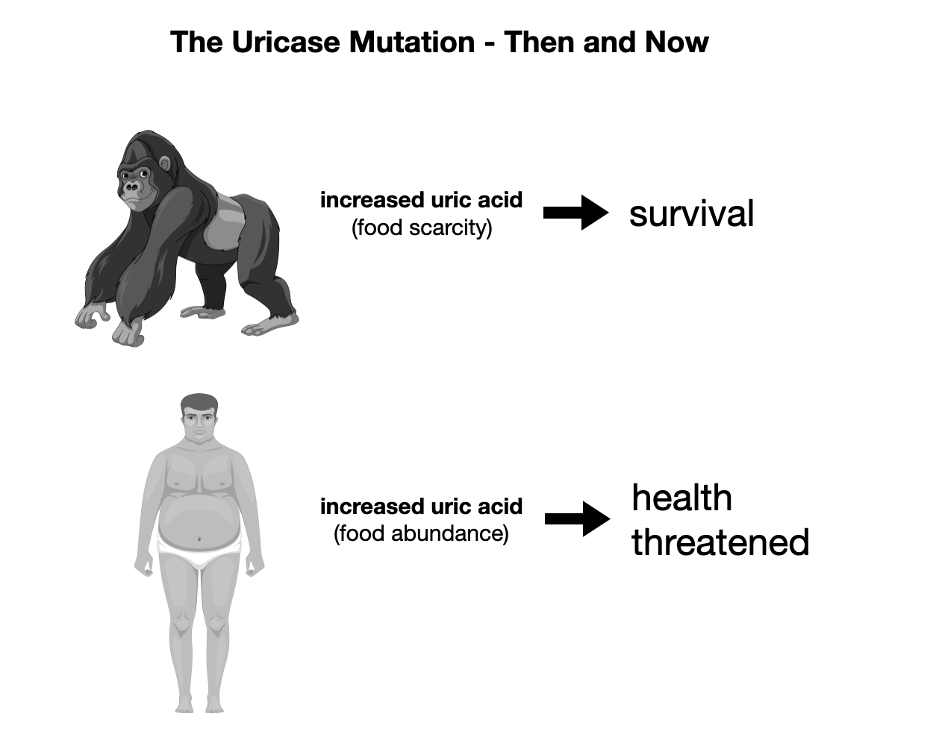 The Uricase Mutation: Then to Now.  From scarcity to abundance.